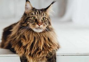 Uzun Tüylü Kedi Cinsleri - Maine Coon